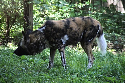IMG_8028_African_Painted_Dog