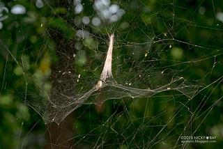 Tent web spider (Cyrtophora beccarii) - DSC_2091
