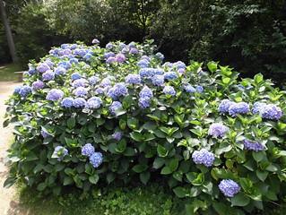 Pfaueninsel - Hortensien
