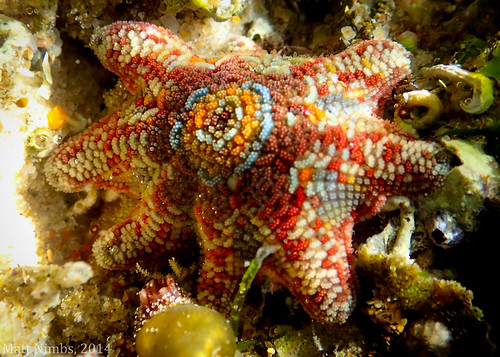 Asteroidia | Asterinidae | Patiriella calcar [Variegated Sea Star] - Flat Rock, Ballina, NSW