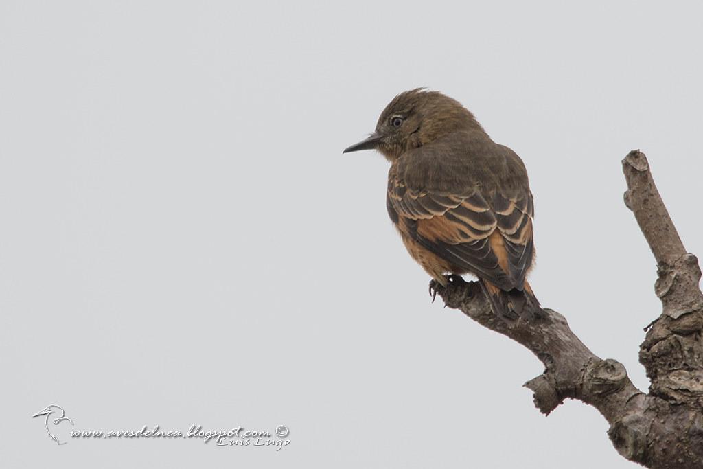 Birro común (Cliff Flycatcher) Hirundinea ferruginea