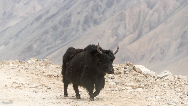 Yak (or maybe a Dzo) on Khardung La road