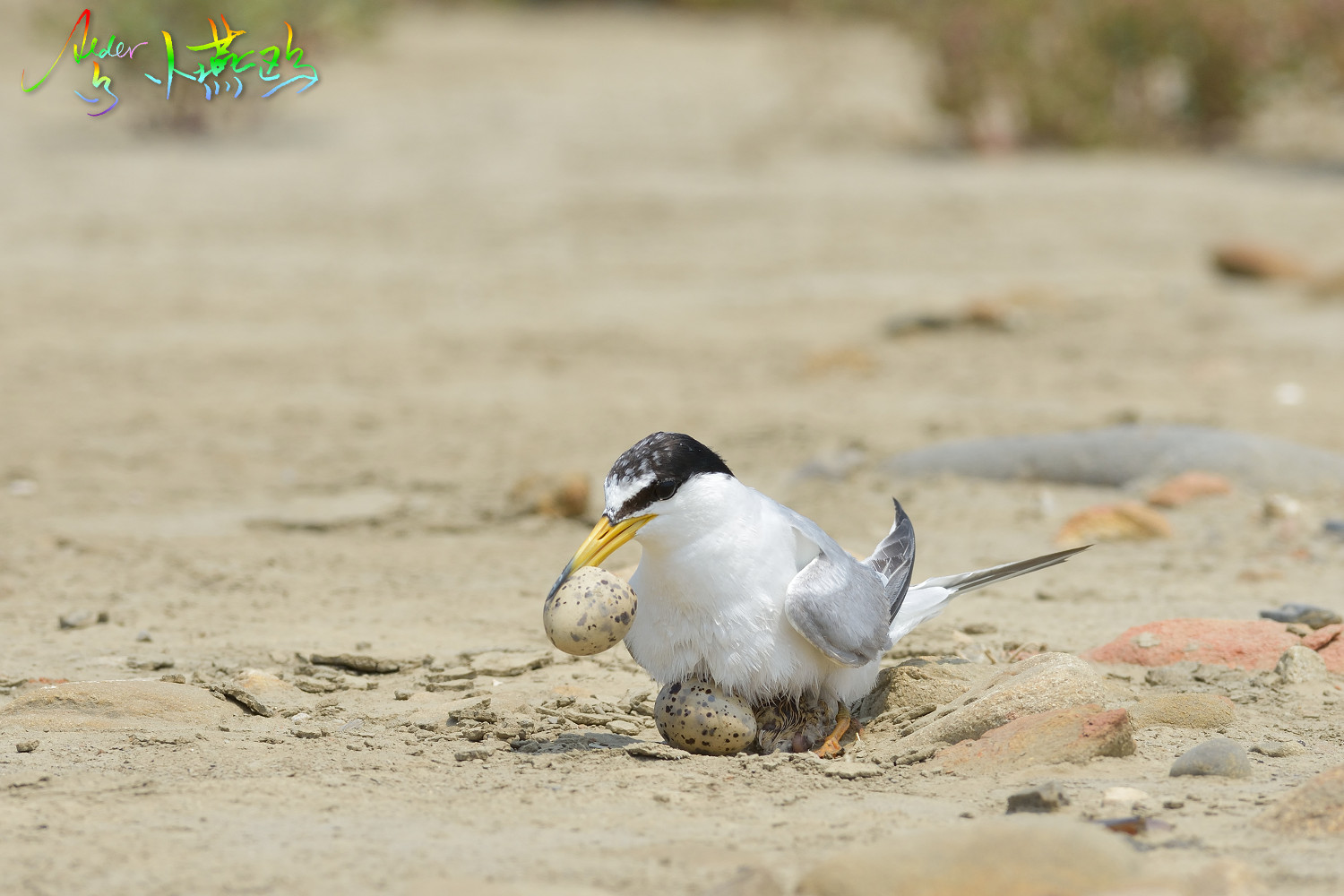 Little_Tern_5340