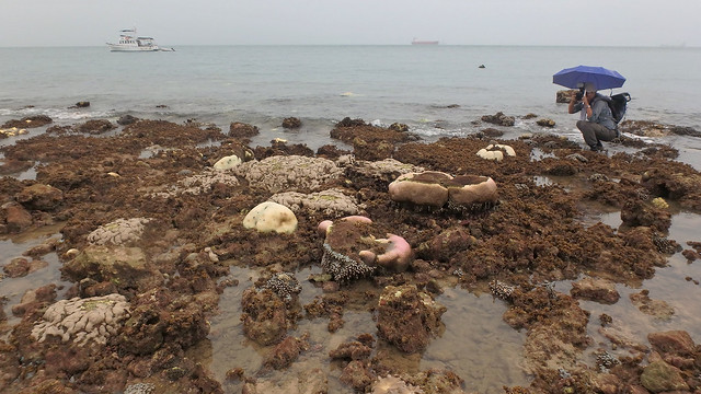 Mass coral bleaching at Raffles Lighthouse, 21 Aug 2016