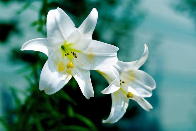 Taiwanese Lily : タカサゴユリ