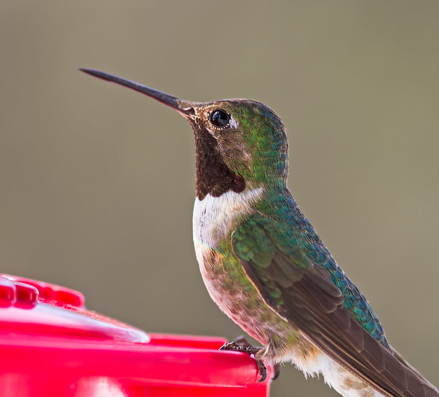 Broad-Tailed Hummer-11_7d1__170716