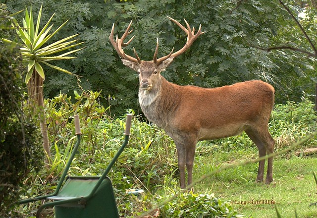 Red stag visiting garden