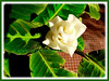 Calathea warscewiczii (Prayer Plant, Calathea, CalatheaPlant)