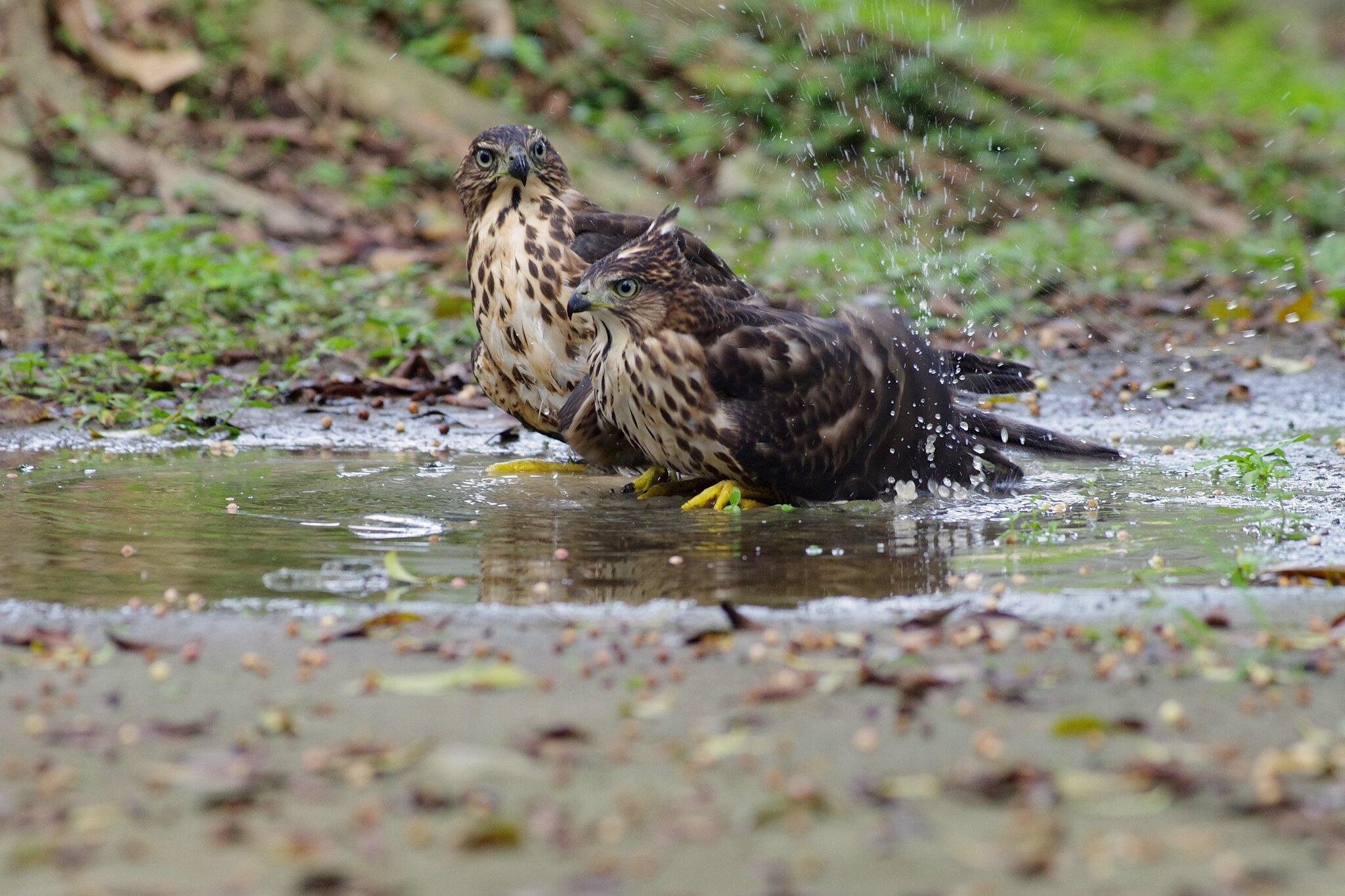 中正紀念堂鳳頭雙寶洗澡玩水