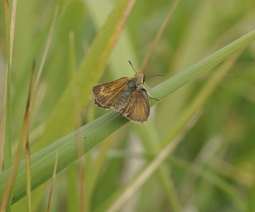 Lulworth Skipper at Lulworth Cove