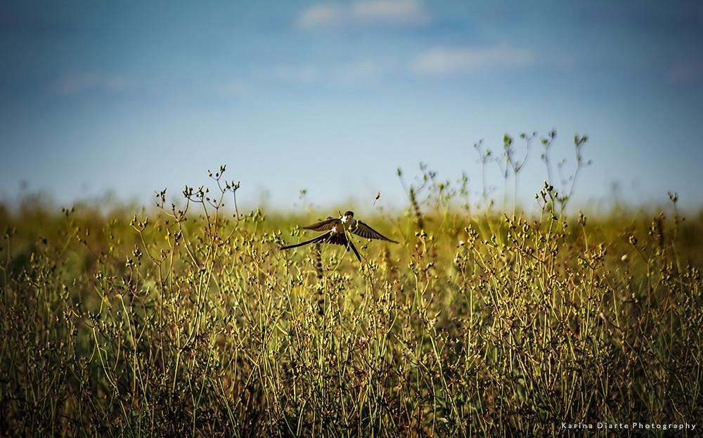 Tijereta - Fork tailed Flycatcher