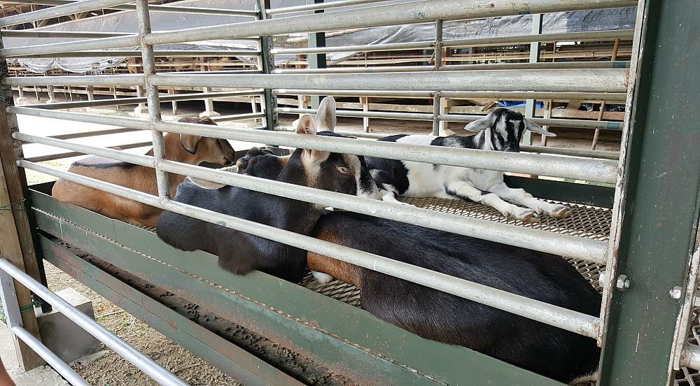 Goat Farm 7