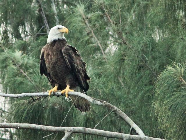 Bald Eagle new female 08-20141207
