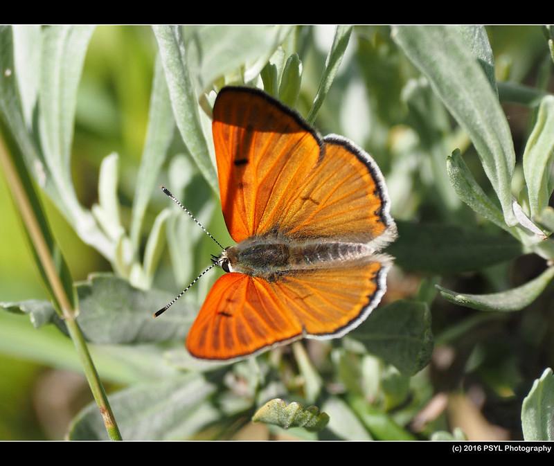 Ruddy Copper Butterfly (Lycaena rubidus)