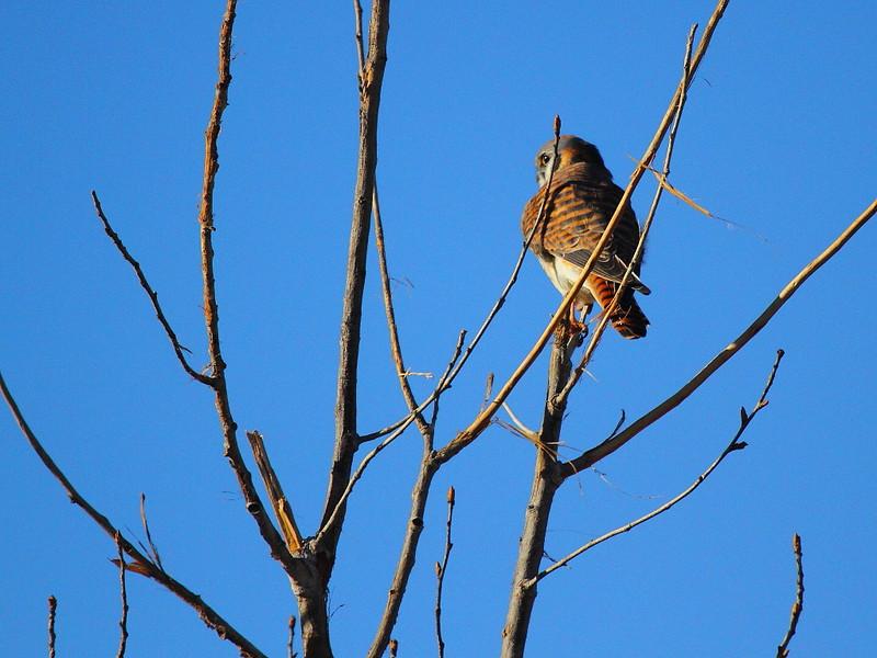 IMG_2324 American Kestrel, Bosque del Apache NWR