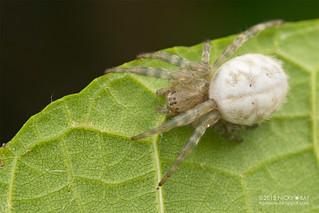 Tent web spider (Cyrtophora beccarii) - DSC_2045