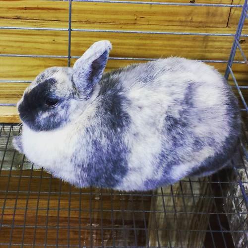 Bunny #eriecountyfair #rabbit