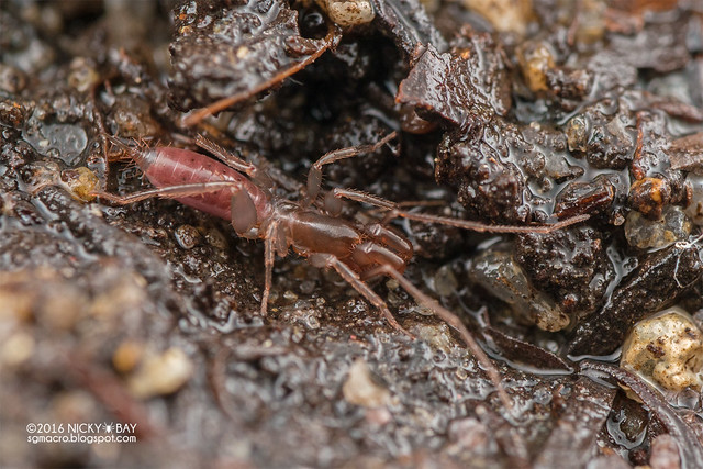 Shorttailed whip scorpion (Schizomida) - DSC_0980