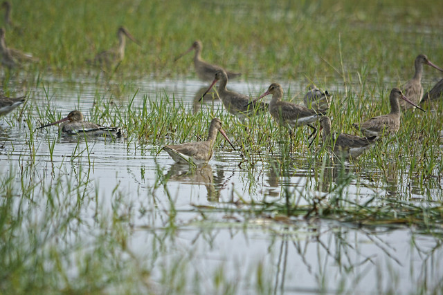 Black-tail Godwit birds at Chilika.