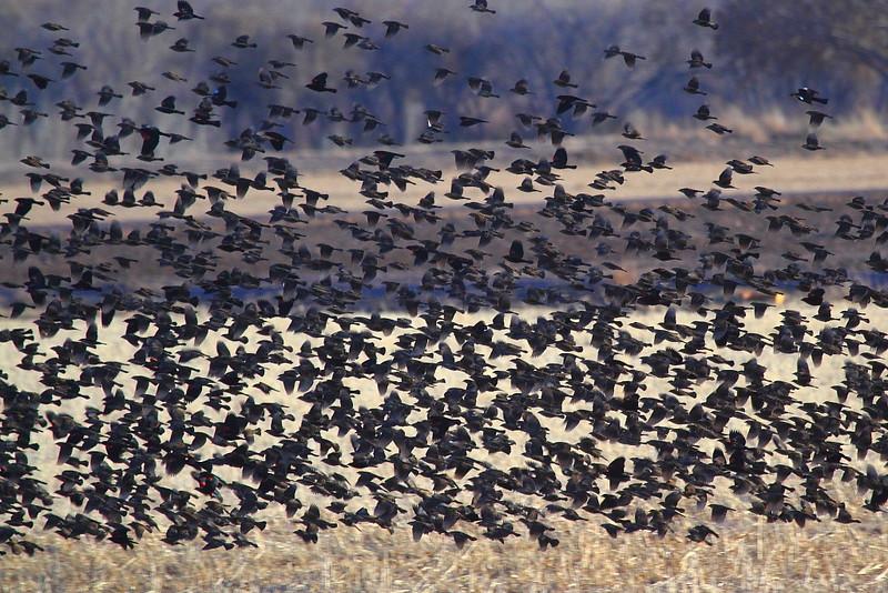 IMG_2349 Black Birds