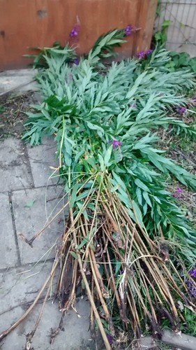 willowherb Aug 16