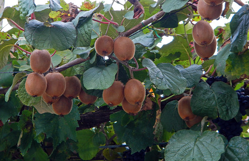 Kiwis ready to pick in the mountain village of Brez in the Picos de Europa, Spain