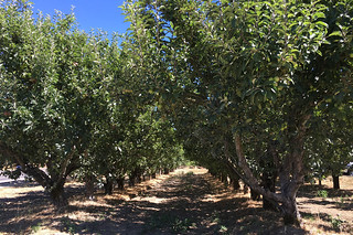 Kozlowski Farms - Apple trees