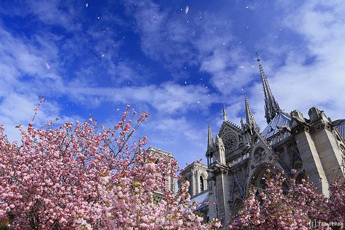 Notre-Dame with Sakura