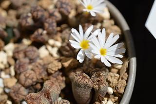 DSC_4075 Conophytum pellucidum S.W. Springbok �R�m�t�B�c�� �y���V�_��