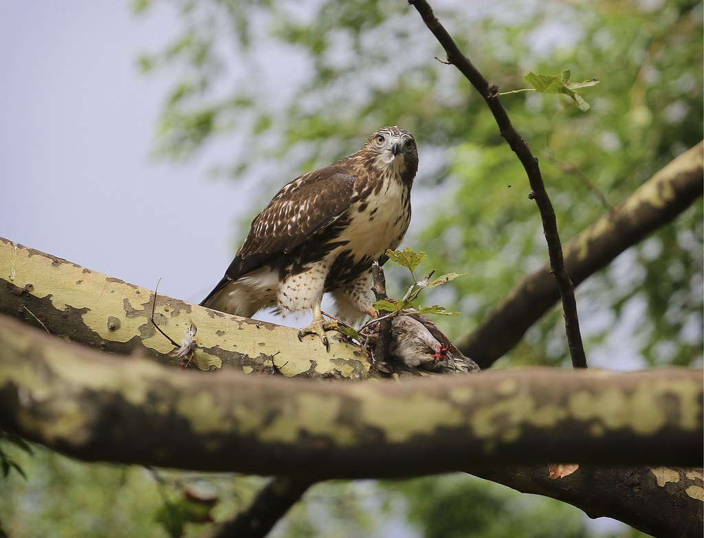 Red-tail fledgling with pigeon