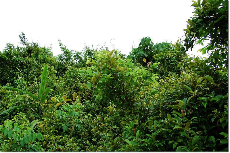 左鎮山山頂佈滿常綠藤本植物--酸藤