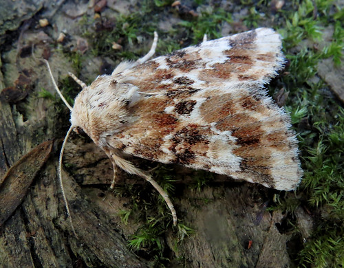 Dusky Sallow Eremobia ochroleuca Tophill Low NR, East Yorkshire August 2016