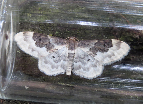 Least Carpet Idaea rusticata Tophill Low NR, East Yorkshire July 2016