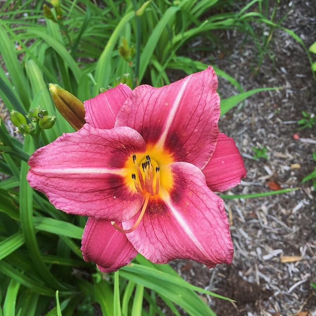 Magenta #daylily just popped open today.