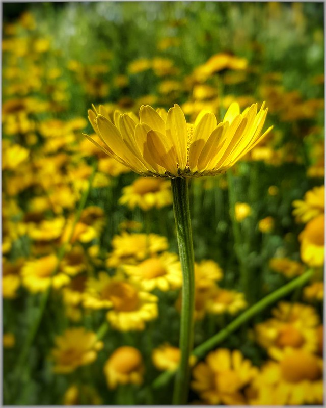 The physical structure of the universe is love. --Teilhard de Chardin #qotd #quotes #teilharddechardin #flowers #flowerphotography #flowerstagram #flowersofinstagram #yellowflowers #flowerphoto #outwalking #summer #calgaryparks #yycparks #loarx #yycflow