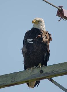 Samish Eagle 1