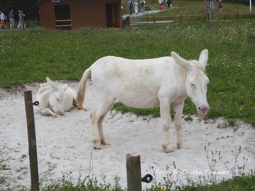Laga Bayreuth - weiße Esel