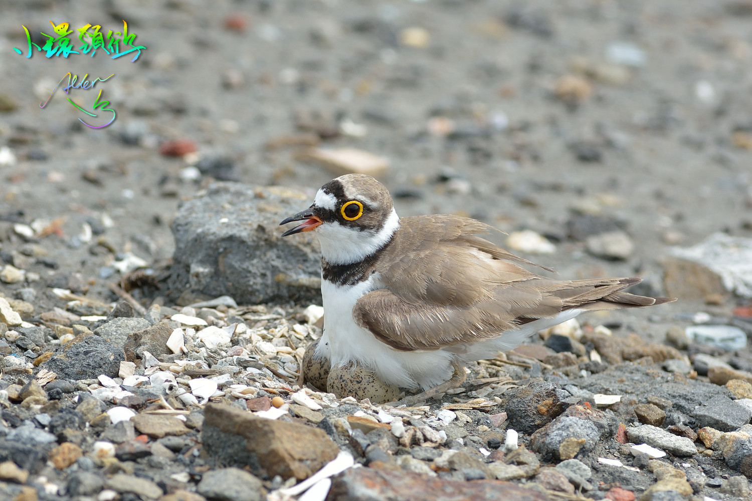 Little_Ringed_Plover_9507