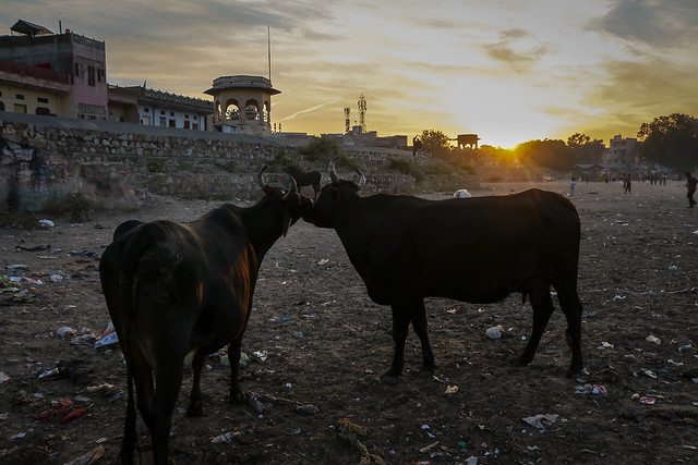 2 cows in a trash-filled dirty fieid, Jaipur, India ジャイプール、ゴミまみれな広場の牛たち