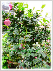 A beautiful shrub of Camellia 'Pink Perfection' with flowers and buds, 26 Oct. 2013