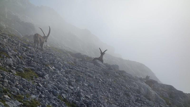 Steenbokken in de mist