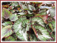 Begonia 'Rex Escargot', 9 Nov. 2011