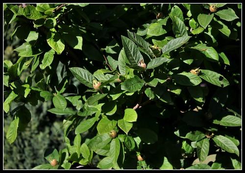 Mespilus germanica - néflier commun