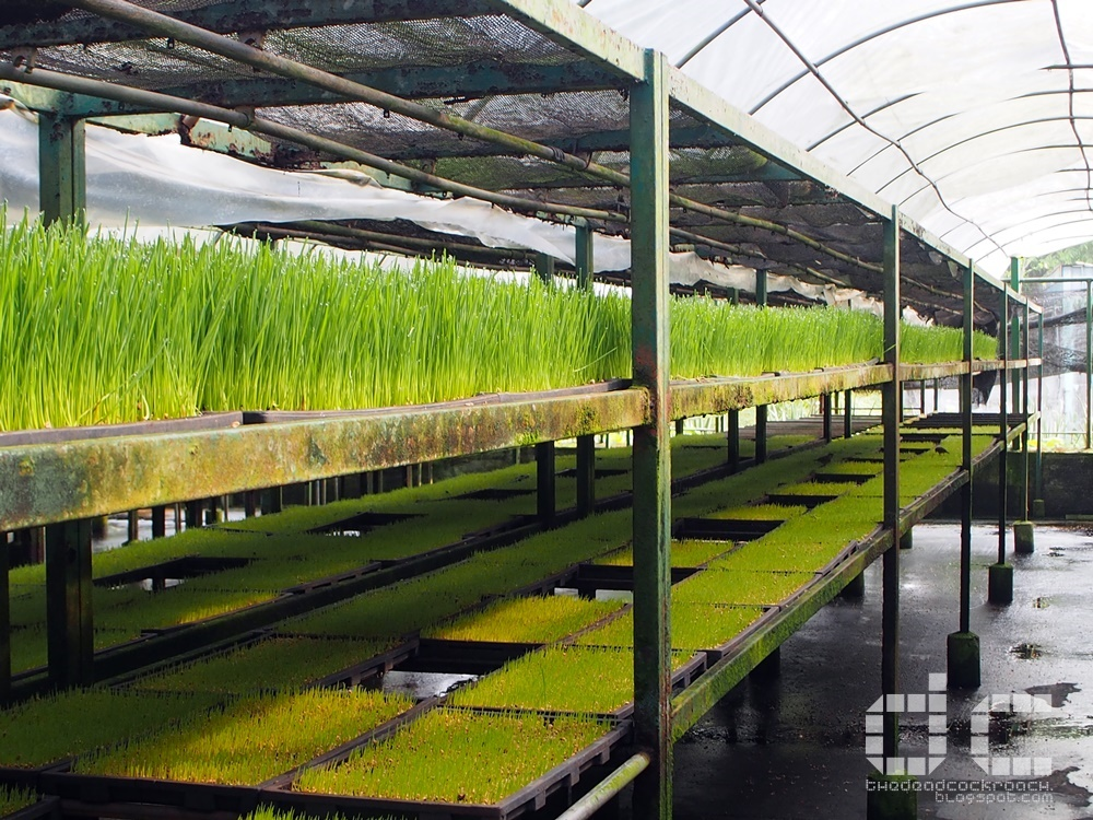 farm tour, kin yan agrotech,national day, personal, singapore, weekend farm, wheat grass