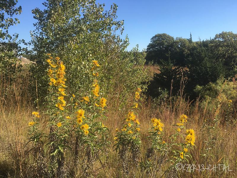 IMG_5250Sunflowers