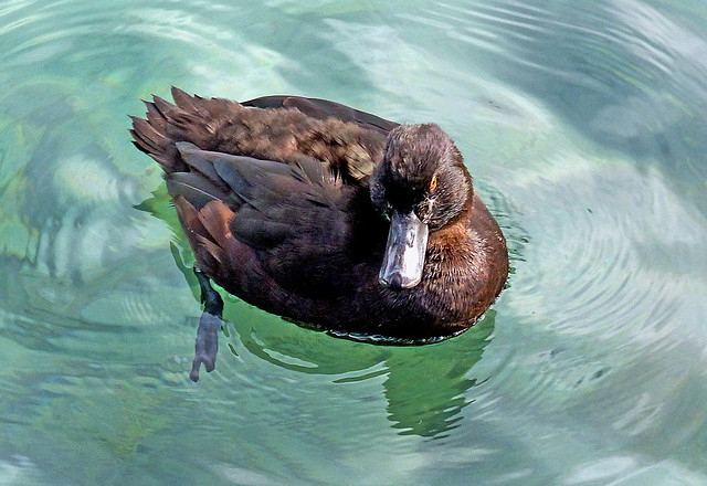 NZ Scaup.