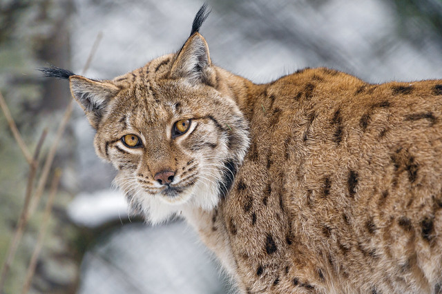photo of Eurasian Lynx