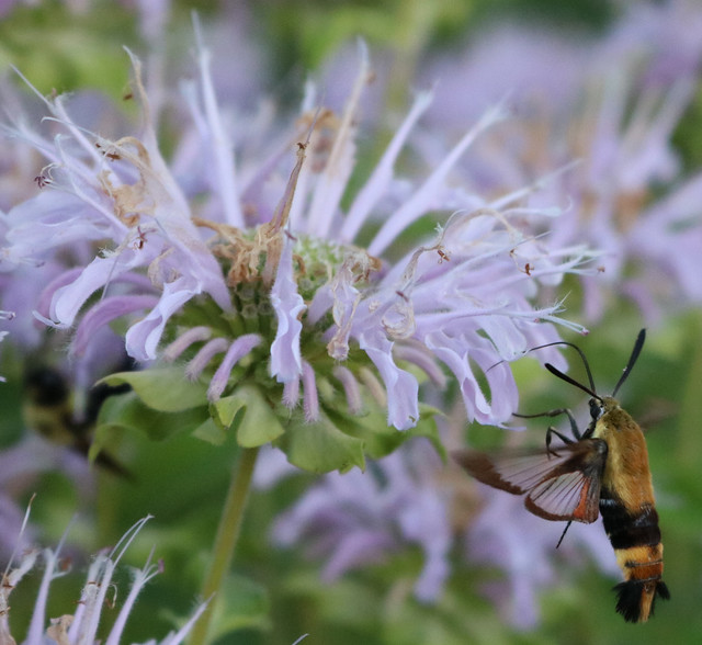yellow-and-black moth viewed from the left side, flying vertically with its proboscis inside a light purple bee balm