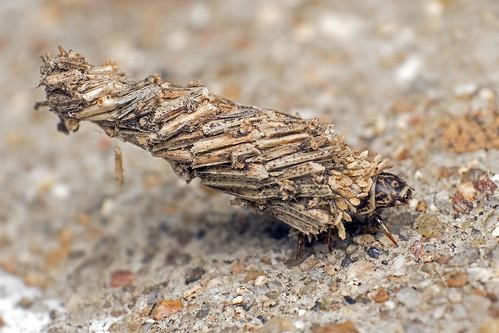 Bagworm moth (Larva)