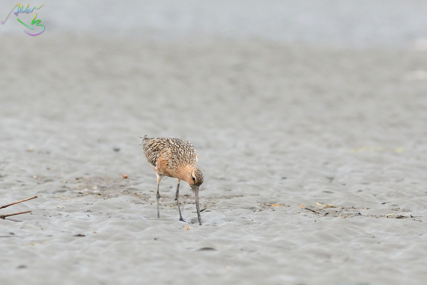 Bar-tailed_Godwit_0546